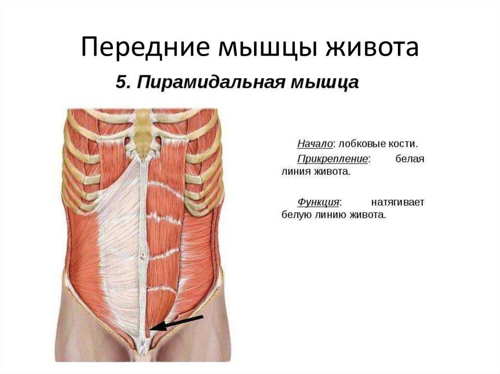 Прямая мышца живота — анатомия, функции, лучшие упражнения