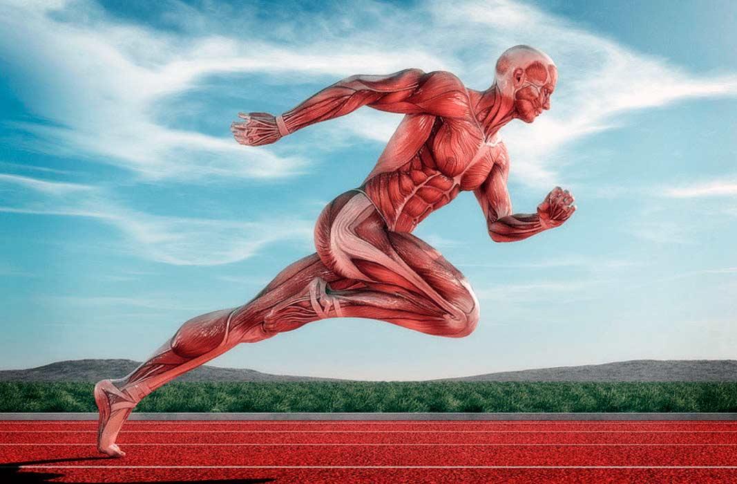 Большая ягодичная и портняжная мышцы — самая крупная и длинная мышца в теле человека