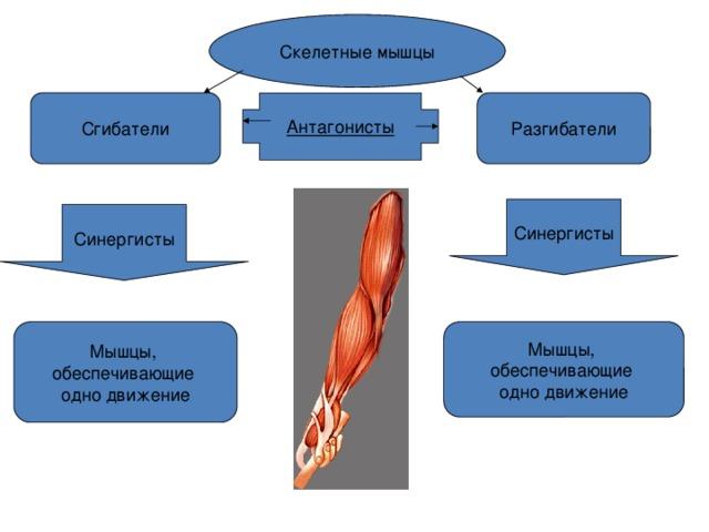 Что такое мышцы антагонисты и как их тренировать — fitomaniya.ru