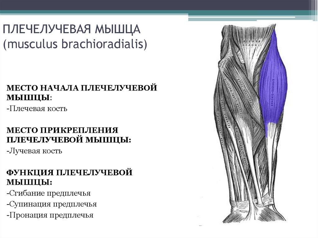 Плечелучевая мышца: анатомия, функции, топ упражнений на брахиорадиалис