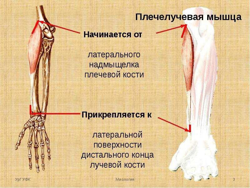 Плечелучевая мышца болит как лечить. народные средства от боли. гимнастика при заболевании суставов