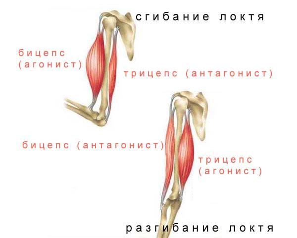 Мышцы-синергисты: примеры и описание