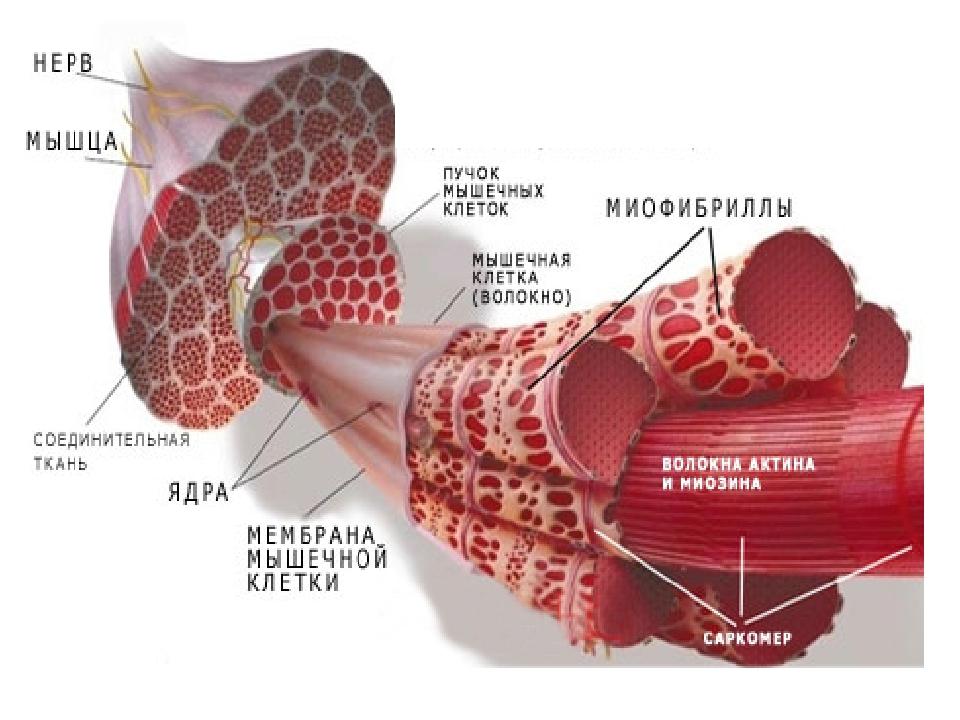 Молочная кислота в мышцах: как вывести, симптомы и лечение без операции