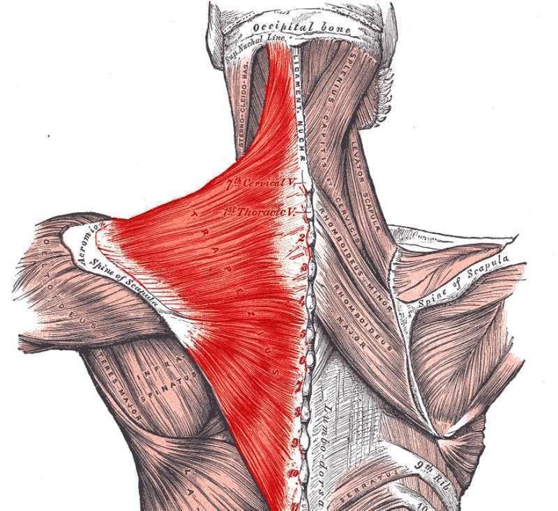 Мышцы плечевого пояса: анатомия, строение и упражнения