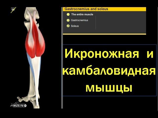 Анатомия грудных мышц. функции и строение.