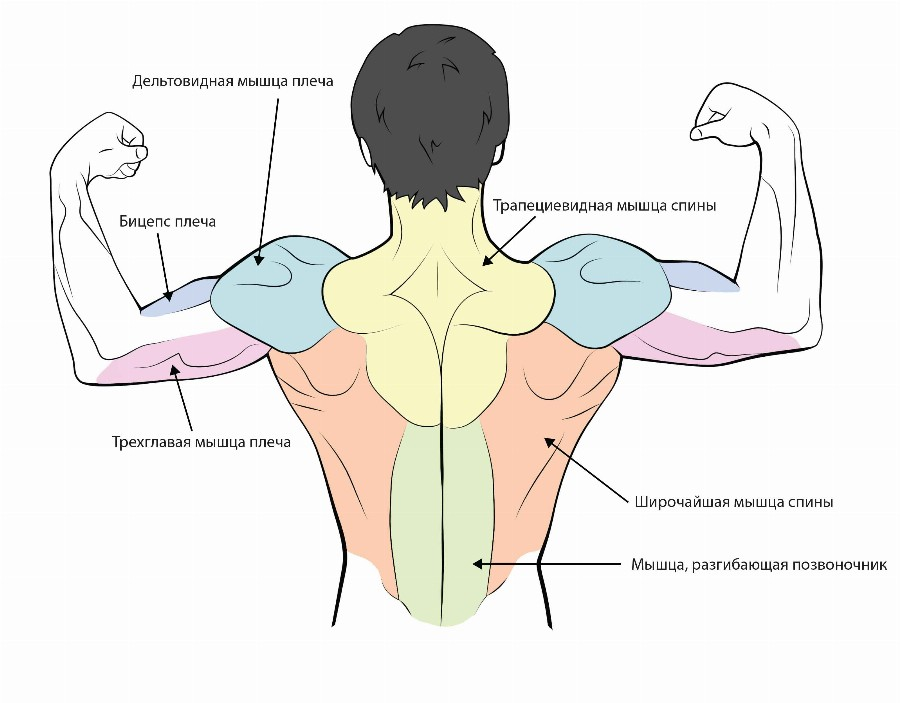 Тренировка мышц спины и плеч