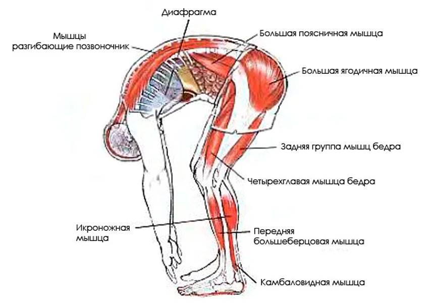 Гибкость: наклон вперед из положения стоя с прямыми ногами на полу или на гимнастической скамье наклон вперед из положения стоя с прямыми ногами выполняется. - презентация