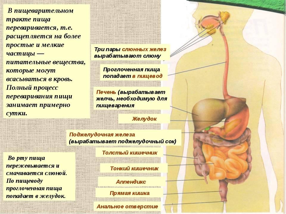 Общие принципы регуляции процессов пищеварения. нормальная физиология