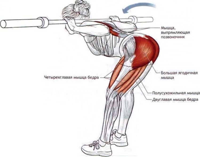 Какие мышцы работают при приседании: обзорная статья