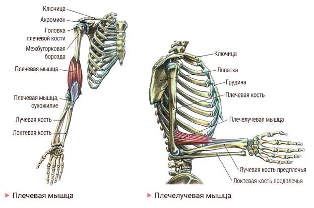 Мышцы человека: анатомия, функции и их строение в картинках