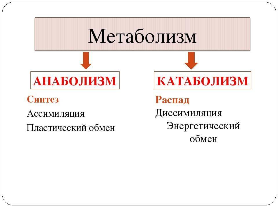 Полное руководство по мышечному анаболизму и катаболизму
