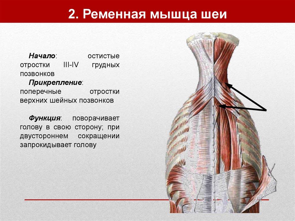Шейный миозит: симптомы и лечение воспаления шейных мышц