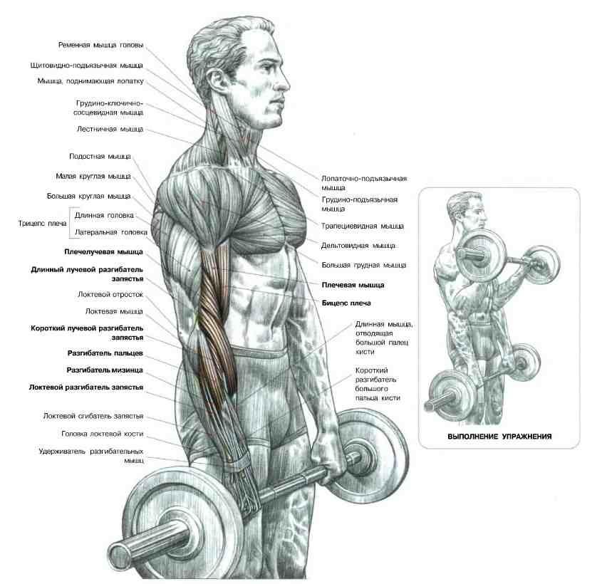 Подъем штанги на бицепс обратным хватом: техника выполнения упражнения, польза и противопоказания