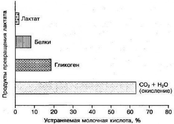 Молочная кислота в мышцах и как ее вывести   wmj.ru