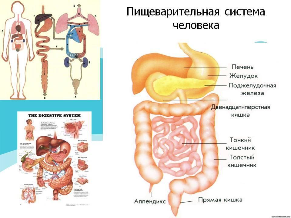 Процесс пищеварения в организме человека: из чего состоит желудок, тонкий и толстый кишечник