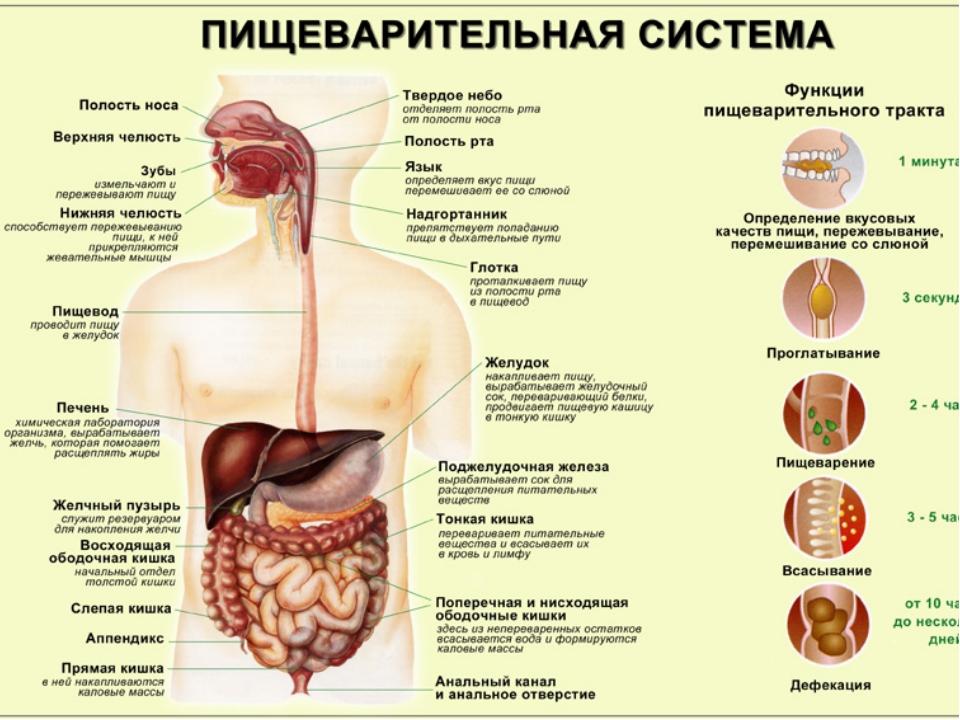Ферменты пищеварительной системы: какие бывают, как работают и что происходит при нехватке пищеварительных ферментов?