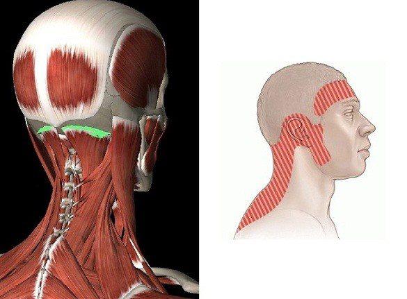 Анатомия мышц шеи и головы человека: строение и функции