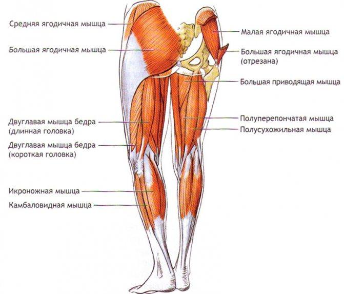 Большая ягодичная мышца: анатомия, функции и упражнения