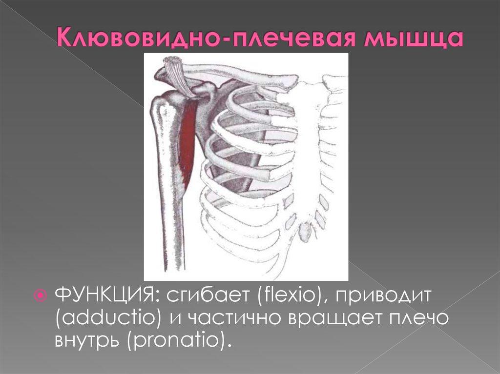 Анатомия мышц руки и лучшие упражнения для их накачки