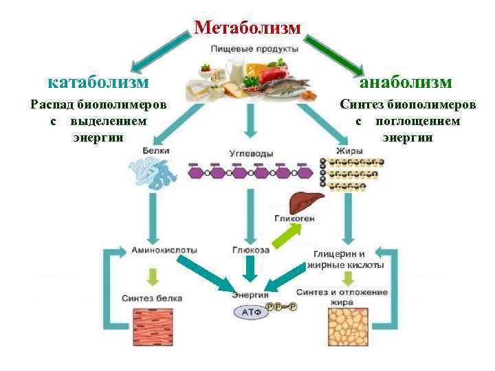 Как улучшить обмен веществ в организме человека