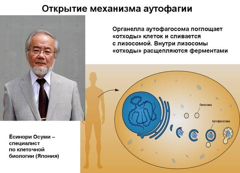 Голодание и аутофагия – взгляд на аутофагию с научной точки зрения :: инфониак