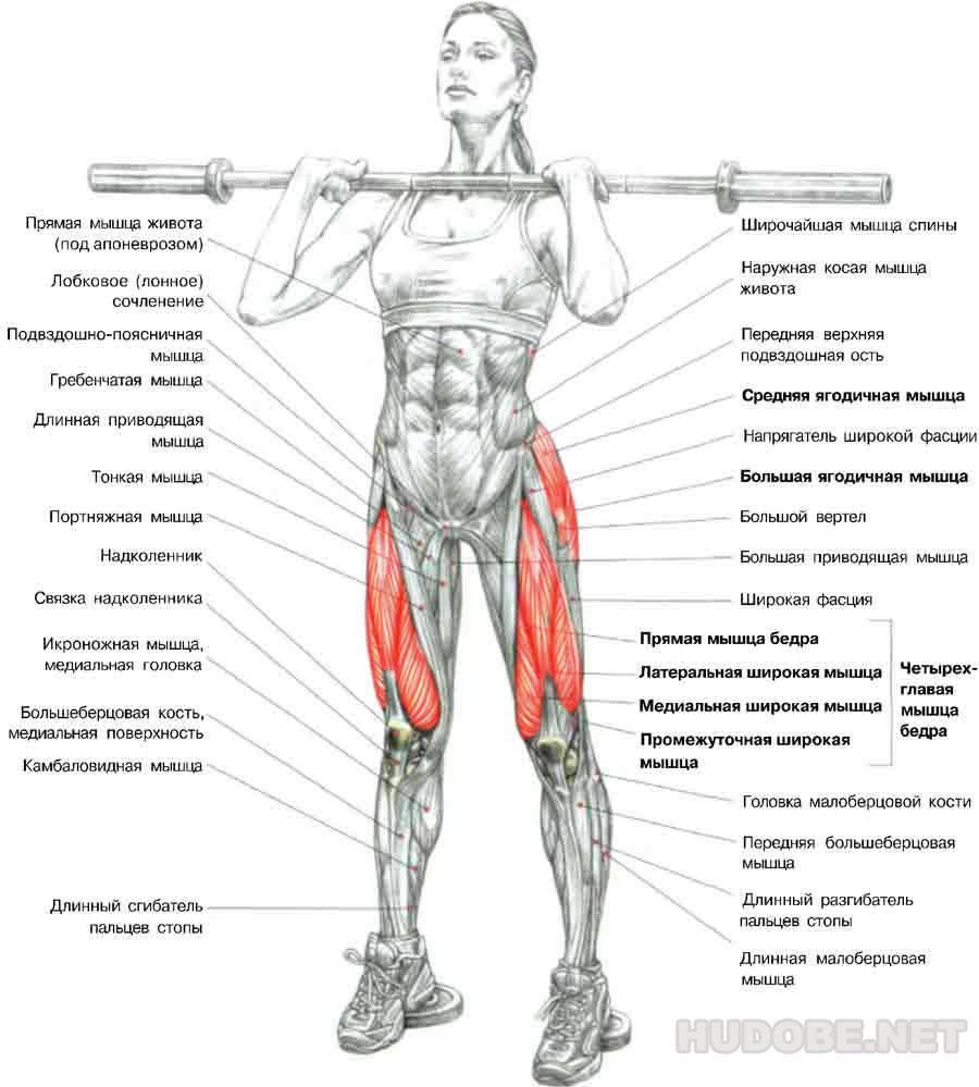Четырехглавая мышца бедра: анатомия, функции, что такое и где находится квадрицепс
