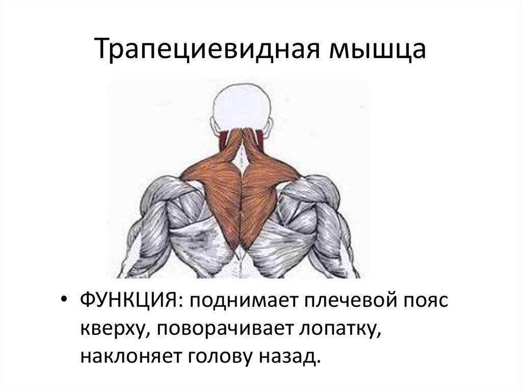 Упражнения на трапецию, какие выбрать, какие лучшие