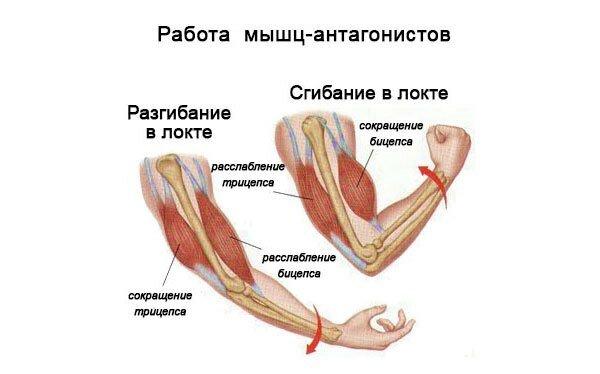 Примеры мышц антагонистов и синергистов таблица - красота и здоровье