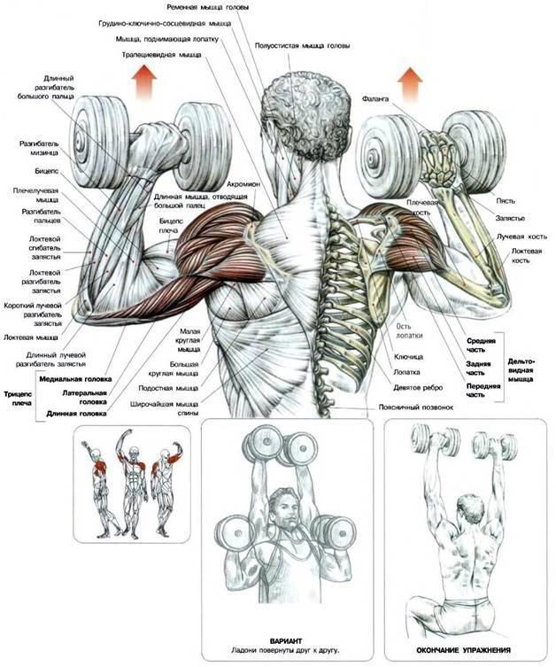 10 упражнений на плечи с гантелями в домашних условиях | bestbodyblog.com
