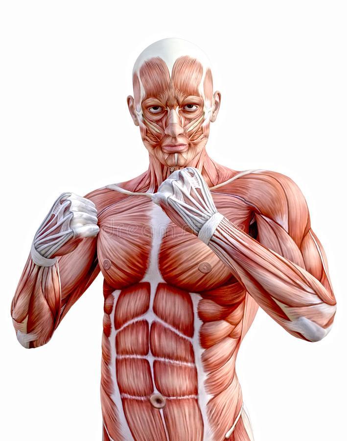 Сколько мышц у человека и какая из них самая сильная, длинная и большая