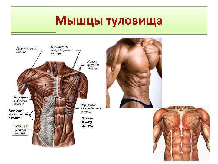 Как накачать косые мышцы живота?