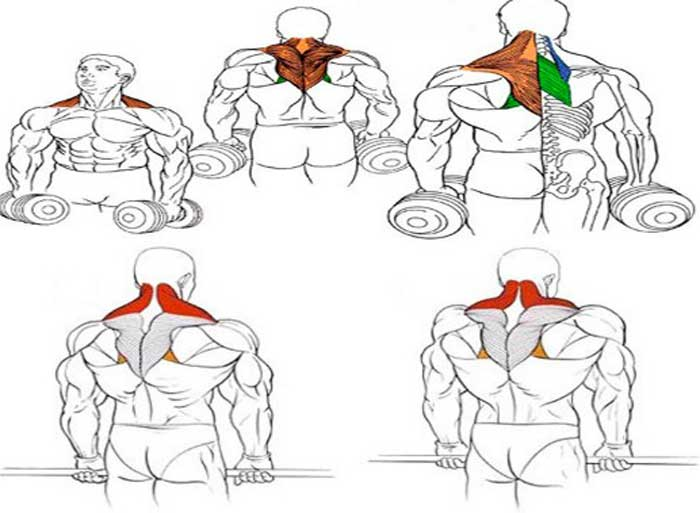 Ромбовидная мышца: функции, где находится, лучшие упражнения
