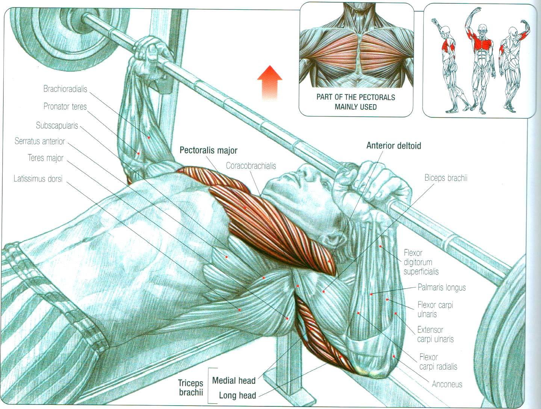 Жим штанги лежа: техника выполнения, работающие мышцы, польза и противопоказания