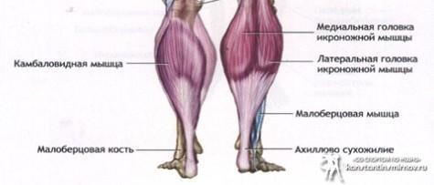 Анатомия мышц голени. задняя группа.
