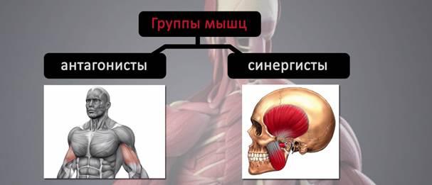Что такое мышцы антагонисты, и как их тренировать. мышцы-антагонисты