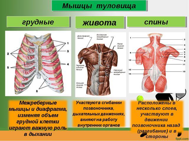 Анатомия мышц туловища: строение, функции, упражнения для развития мышц туловища - всё о тренировках