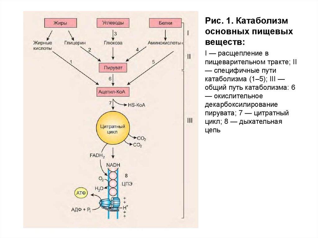 Пути катаболизма неисповедимы: пропуск приема пищи и катаболизм мышц
