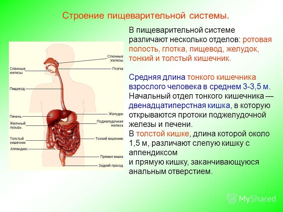 Печень у человека: функции, строение, особенности анатомии, роль в организме