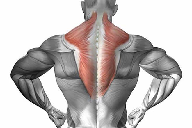 Стременная мышца — самая короткая в теле человека