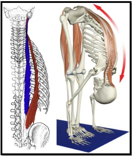 Мышцы спины это сгибатель или разгибатель