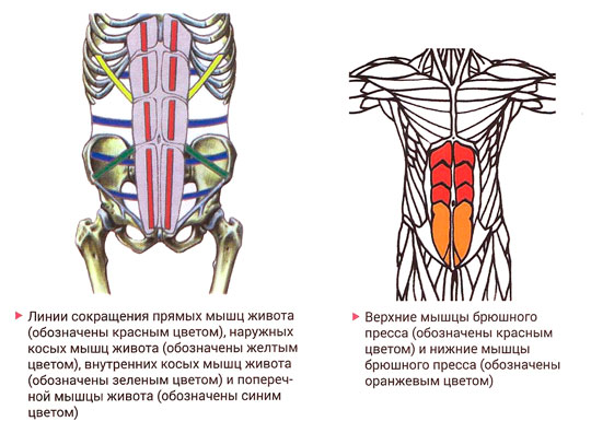 Анатомия прямой мышцы живота человека – информация: