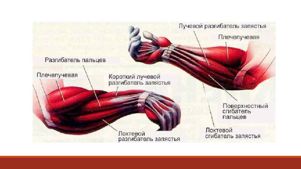 Как накачать брахиалис и увеличить объем бицепса. паучьи сгибания рук.