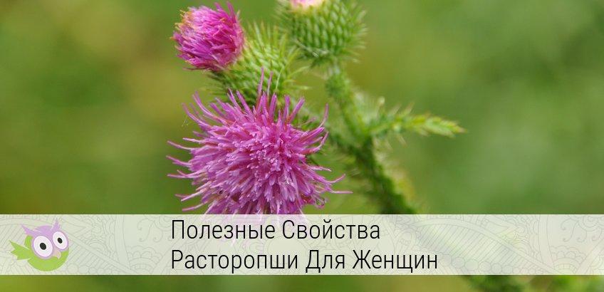 Лечебные свойства расторопши и противопоказания, польза травы для печени