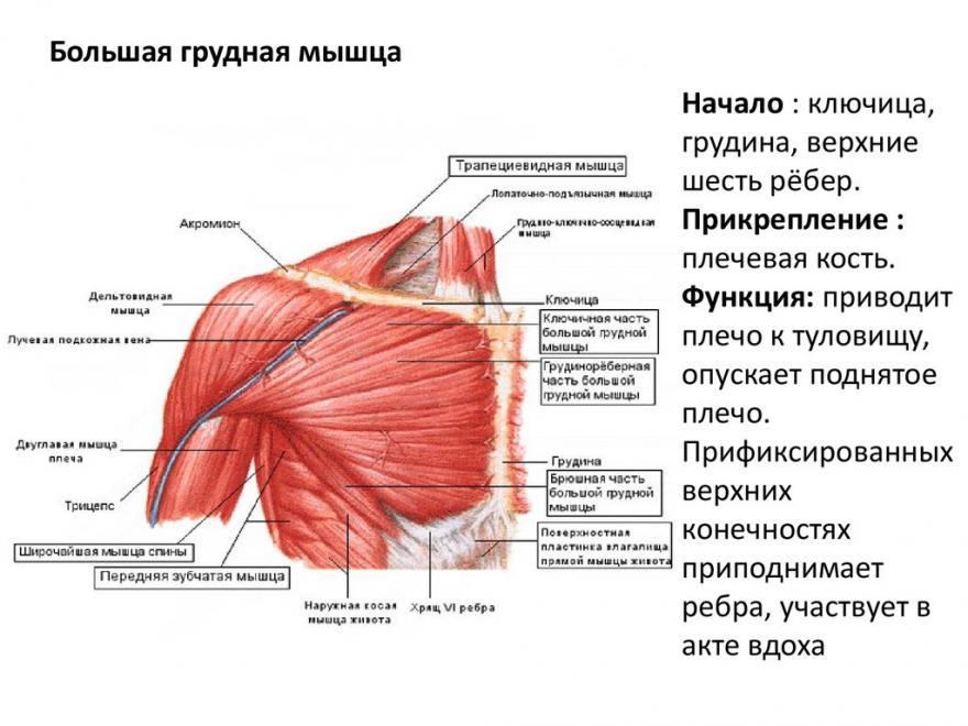 Мышцы груди: строение и функции