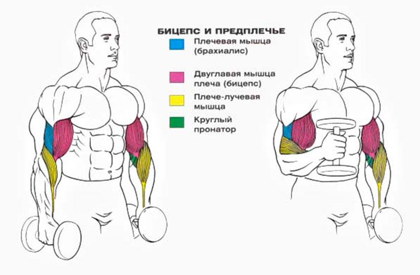 Лучшие 15 упражнений на бицепс: комплексы и программы тренировок