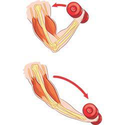 Мышцы антагонисты и синергисты таблица анатомия - фитнес и здоровье