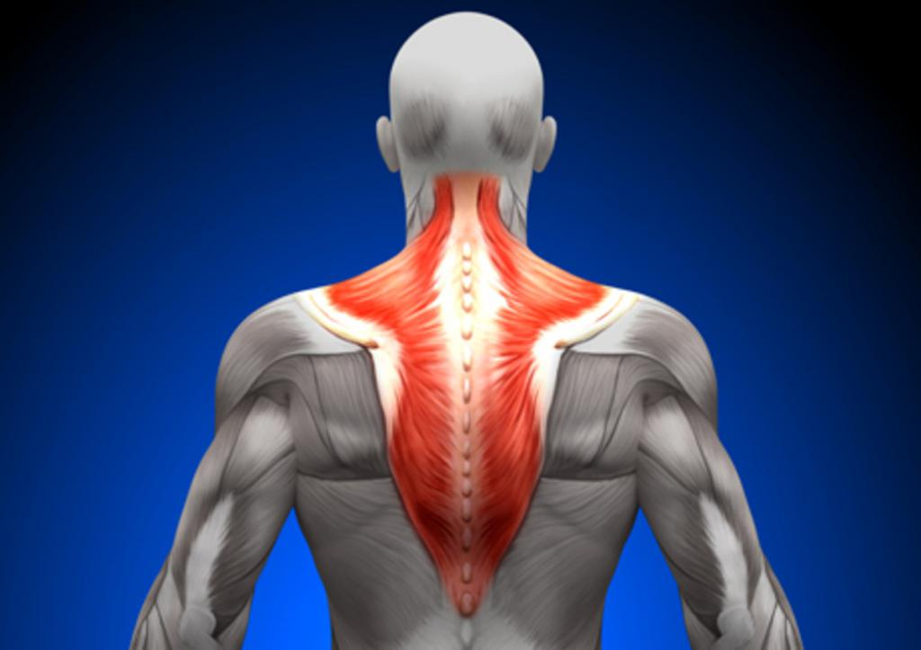 Мышцы сгибатели и разгибатели позвоночника