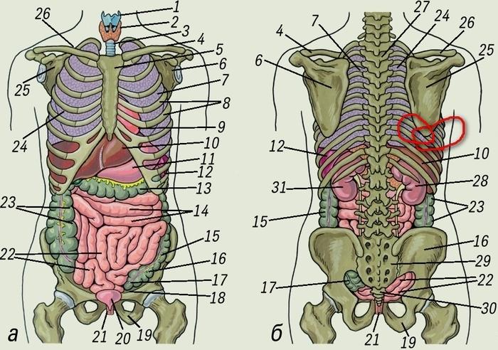Что находится справа в животе: описание строения внутренних органов человека, их назначение, возможные причины боли и необходимость врачебной диагностики