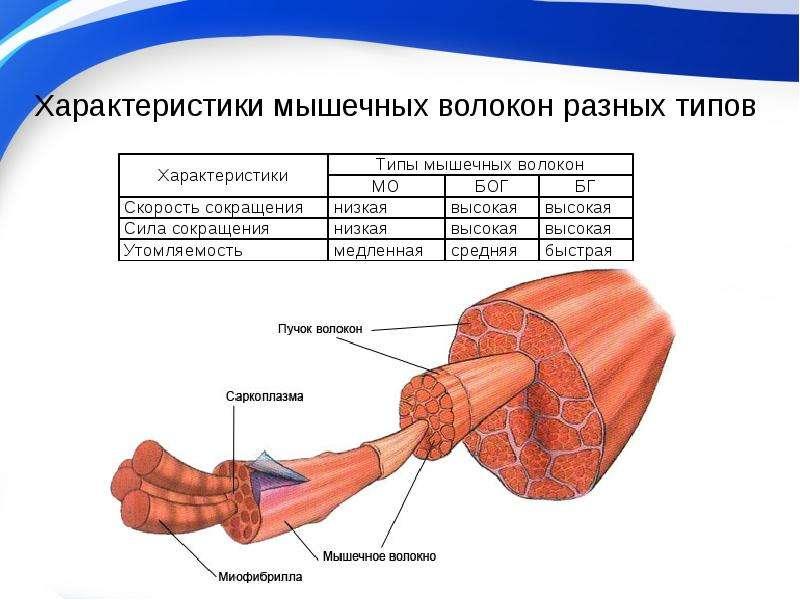 Типы мышечных волокон. структура мышечных тканей | musclelife.ru
