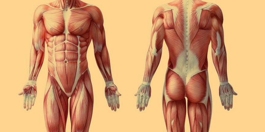 Мышечные волокна, быстрые и медленные типы ткани